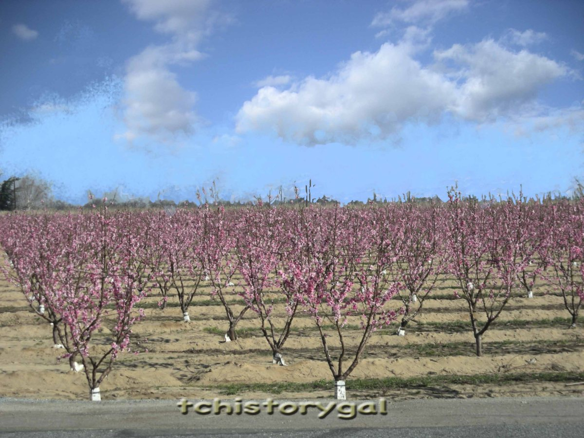 peach tree orchard