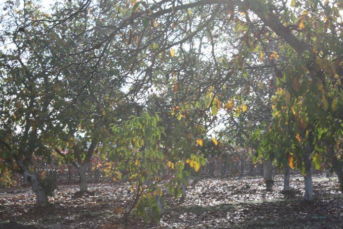 SFW TC Fall Grapes & Walnuts075