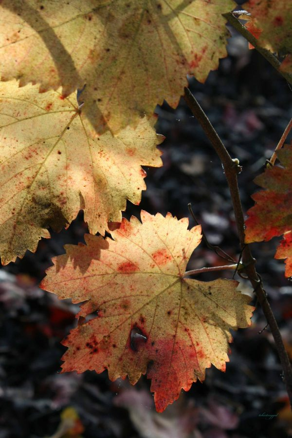 Fall grape leaves in December, 2012