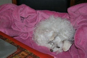 Kalev relaxing on my favorite pink robe my husband gave me a gazillion years ago