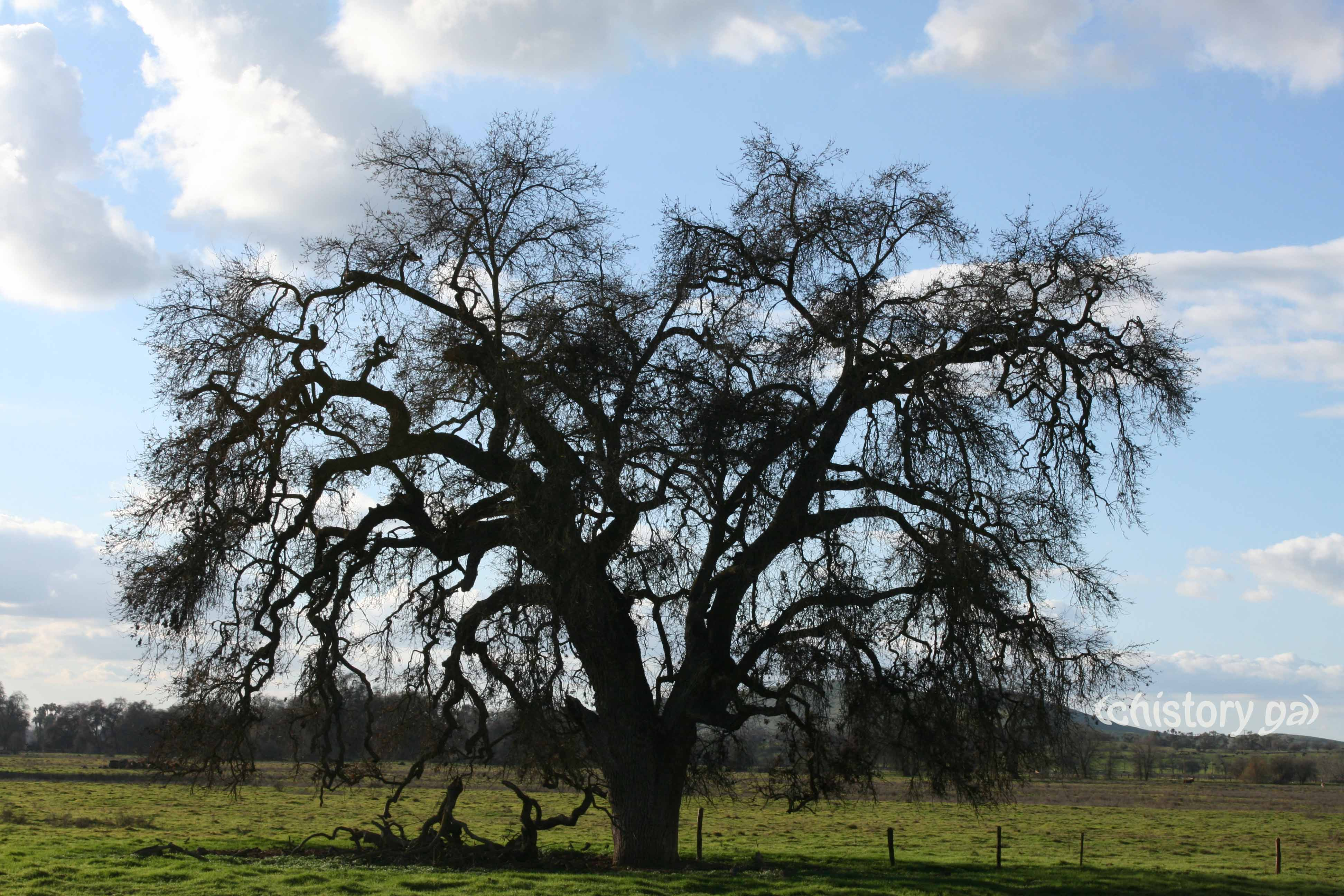 Valley Oak stands guard over grassy field where happy cows live.