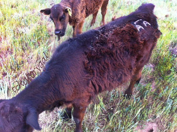 Branding and marking ears is still practiced on cattle today, so that the rancher can identify his cows easily.