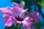 pink/purple hibiscus