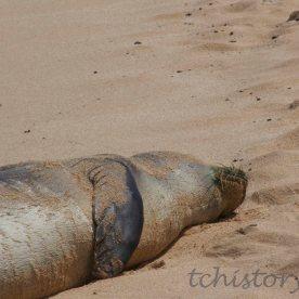 2013 Poipu Beach, Kauai, Hawaii, Monk Seal