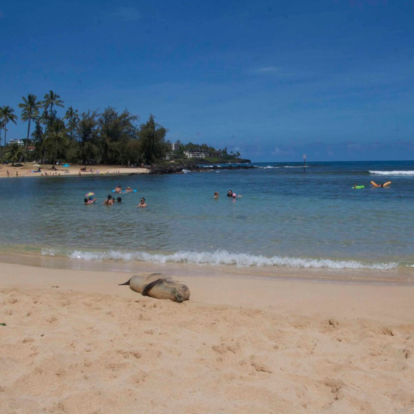 Monk Seal Princess sunning herself