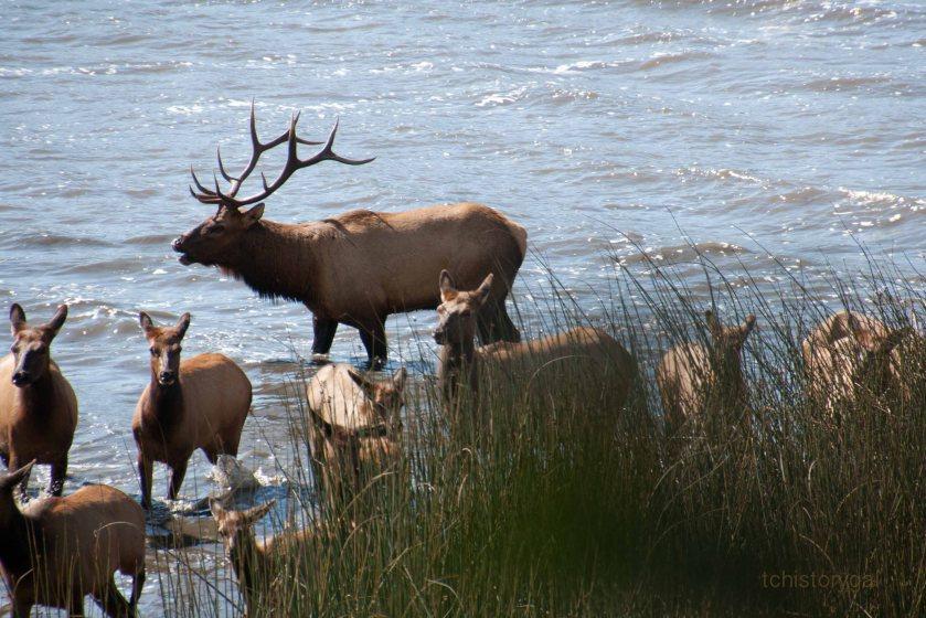 herd of elk near Klamath, OR