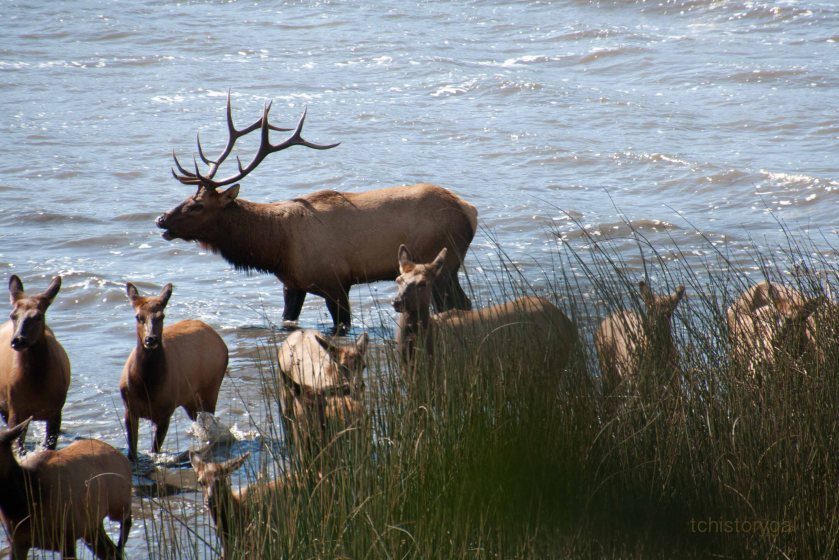 SFW Herds of Elk112