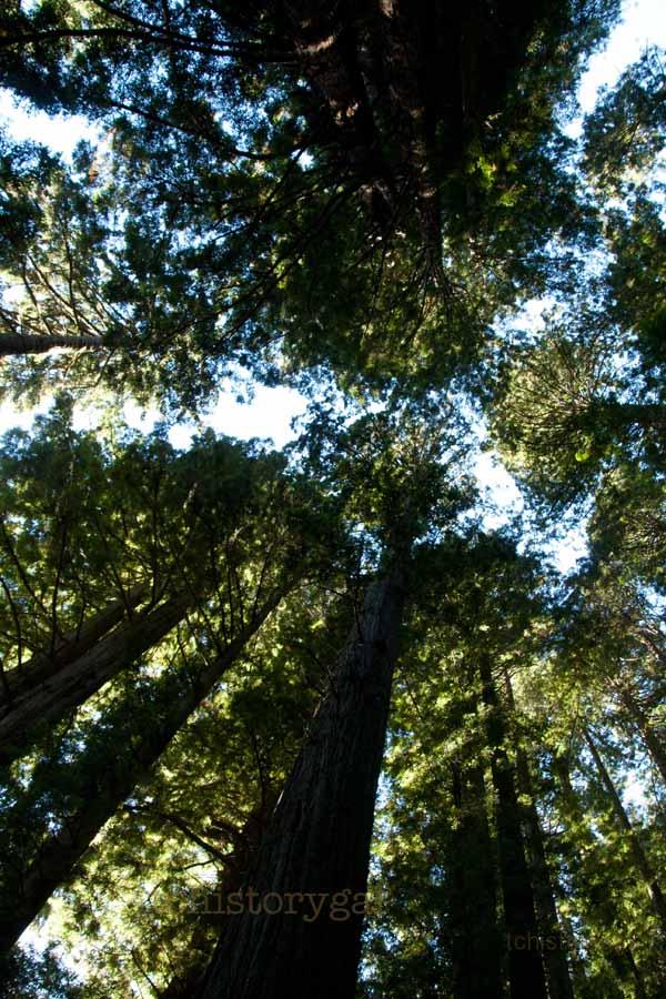 SFW TAV tall mystery treesR