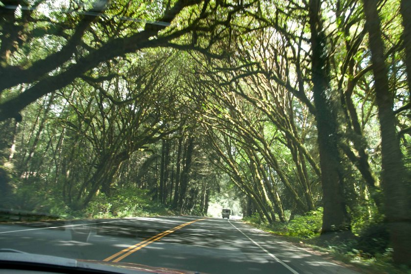 Saturated tree limbs crossing the road to make a natural tunnel south of Crescent City.