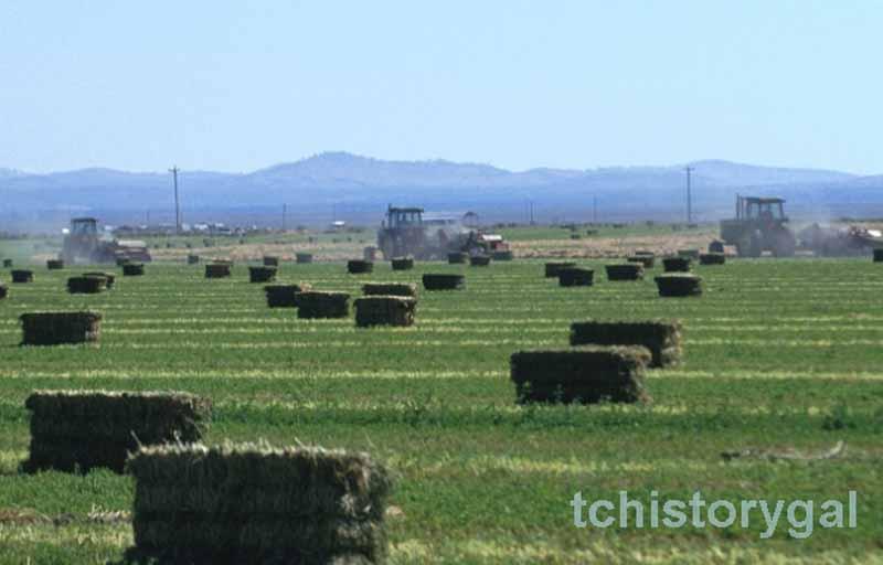 alfalfa field r