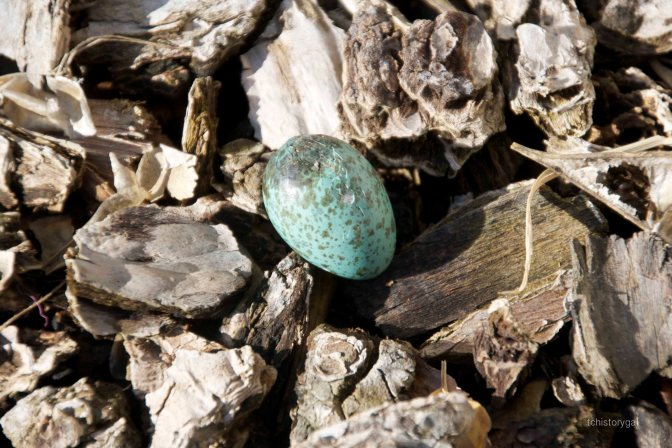 Bluejay egg 013