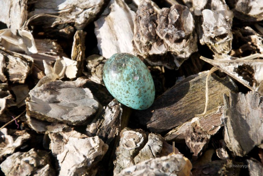 Bluejay egg 013