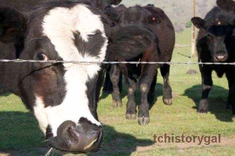 SFW TC Spring cows 4