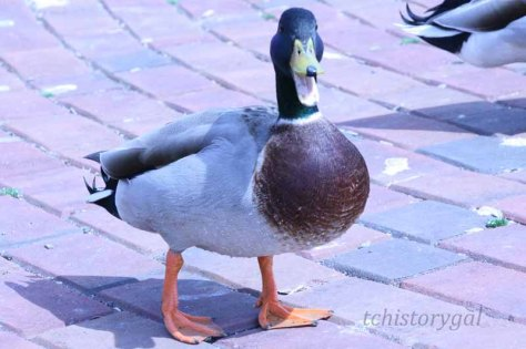 Quacking Up
