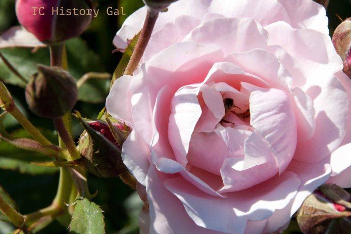 Pink Flower rose