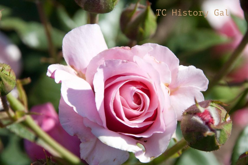 Pink Flower rose4