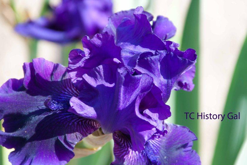 Purple Iris3