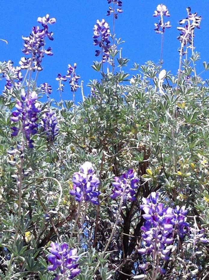 fragrant lavendar bloom wild
