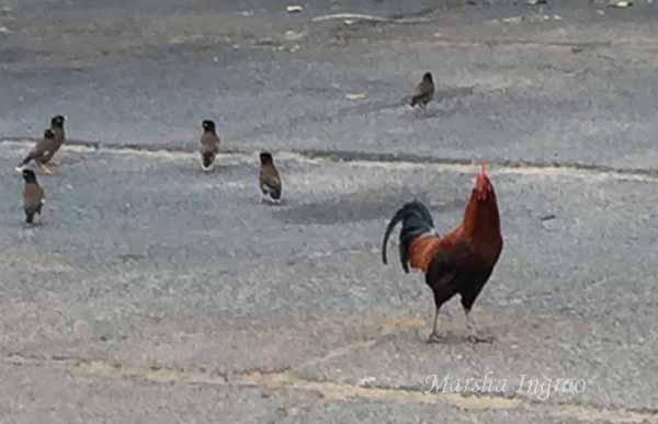 2016 July 19 OWC Chicken120