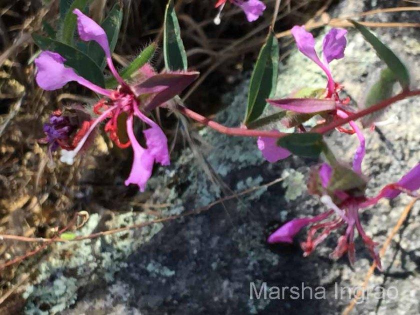 Sequoia National Park wild flower June 2016