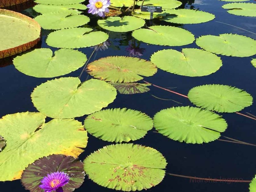 hardy water lily gardens