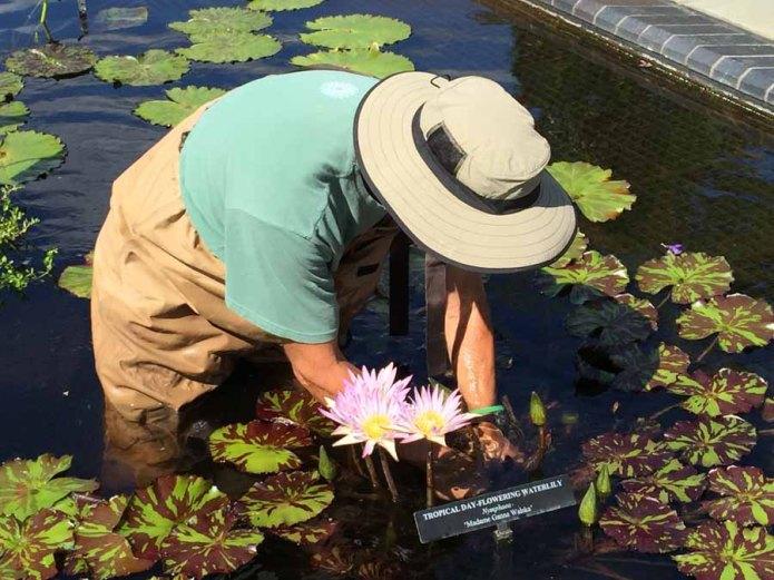 Volunteer worker dead heads the lilies.