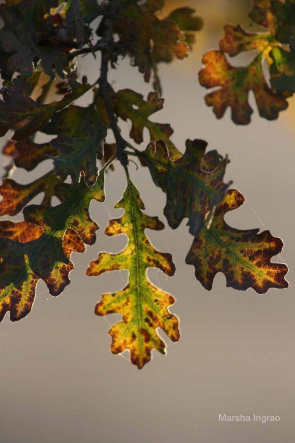 California White Oak