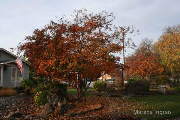 Crape Myrtle tree
