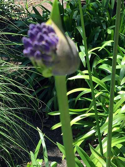 purple Australian flowers