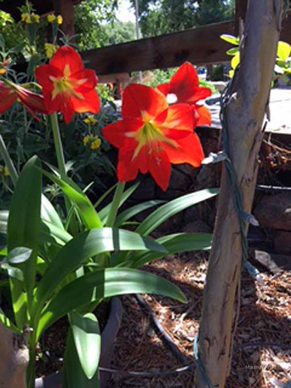 Amaryllis Blooming