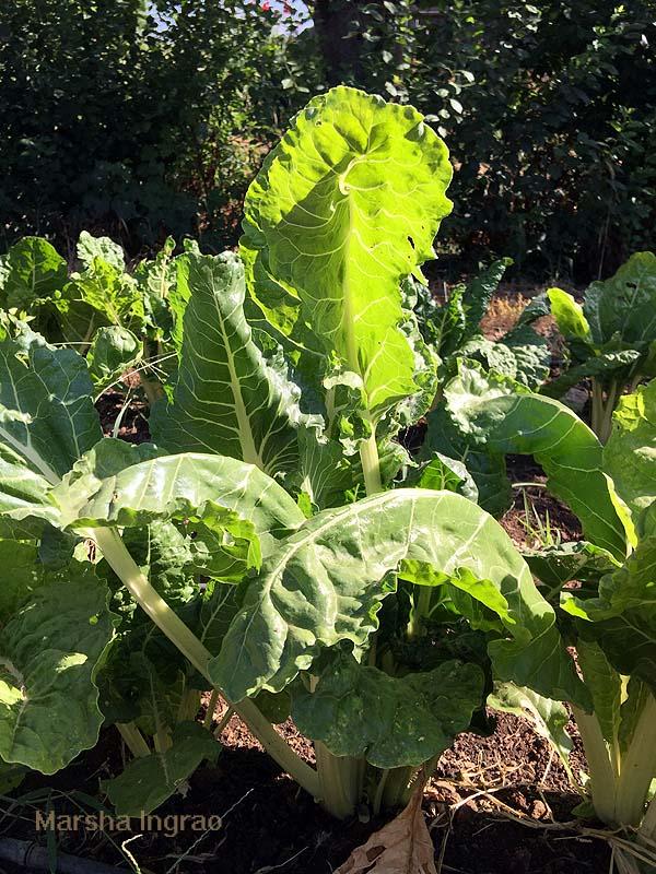 Kale from Woodlake Botanical Gardens