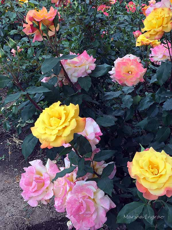 mixed color roses on the same bush