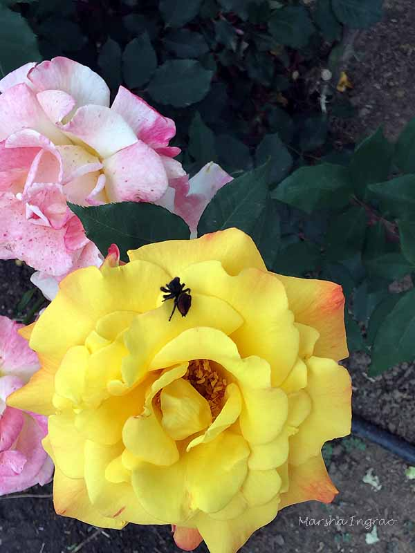 spider enjoying a yellow rose