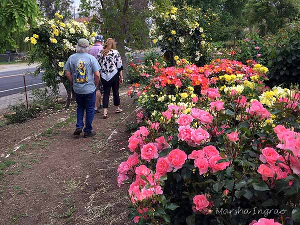 visitors enjoy the Woodlake Rose Garden