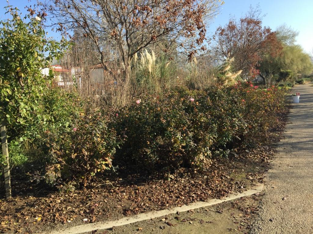 Woodlake Rose Garden Floribundas