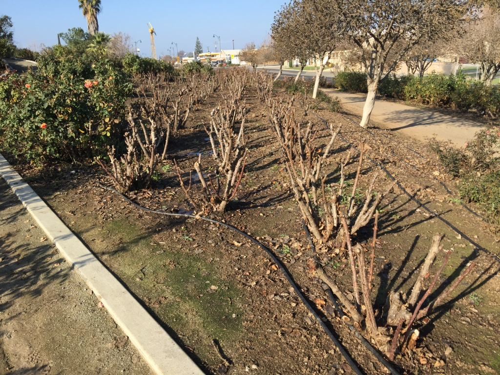 Pruned roses examples