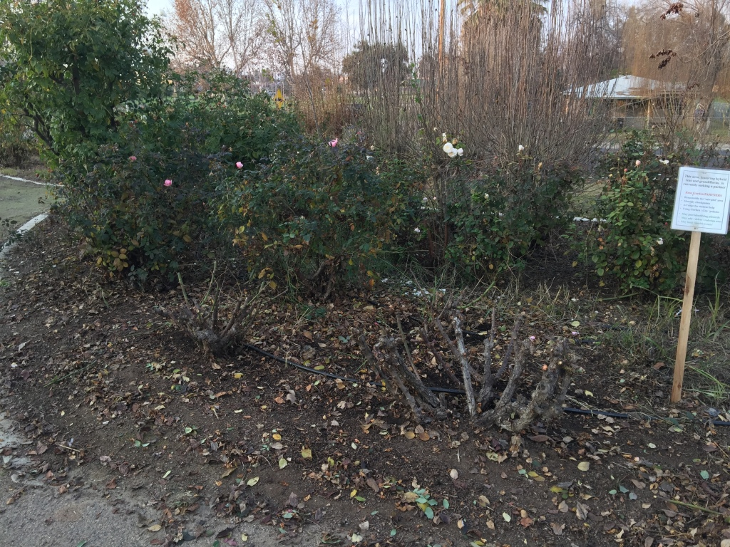pruned roses