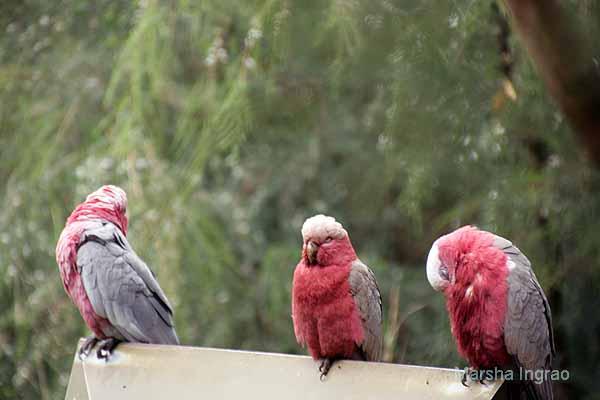 trio galah birds in Australia