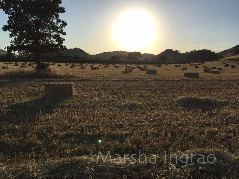 sunset wheat harvest Elderwood  CA