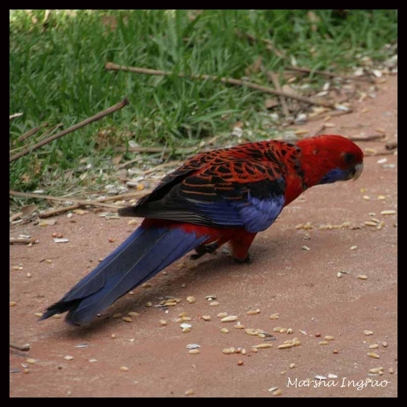 Australian crimson rosela bird