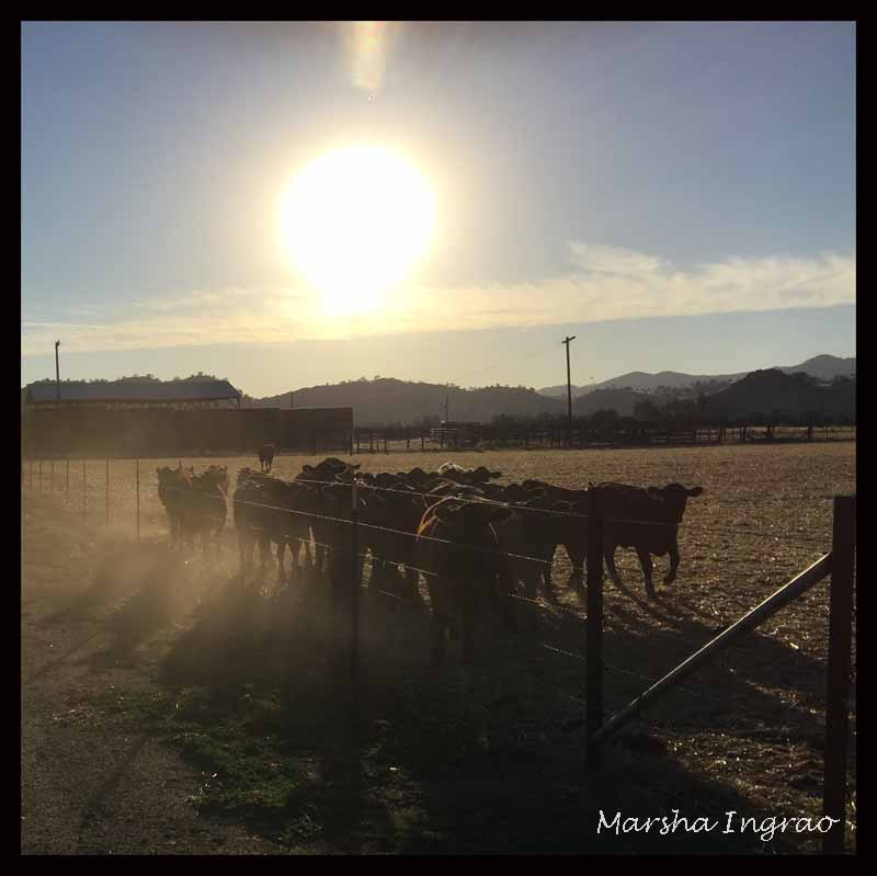 sunset, cattle, foothills, CA