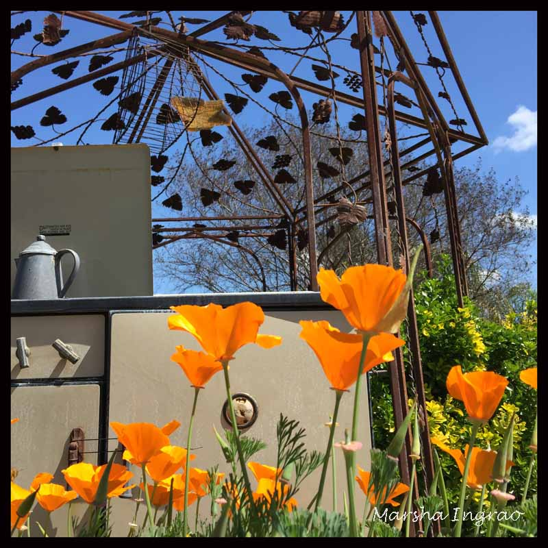 bright CA poppies in spring