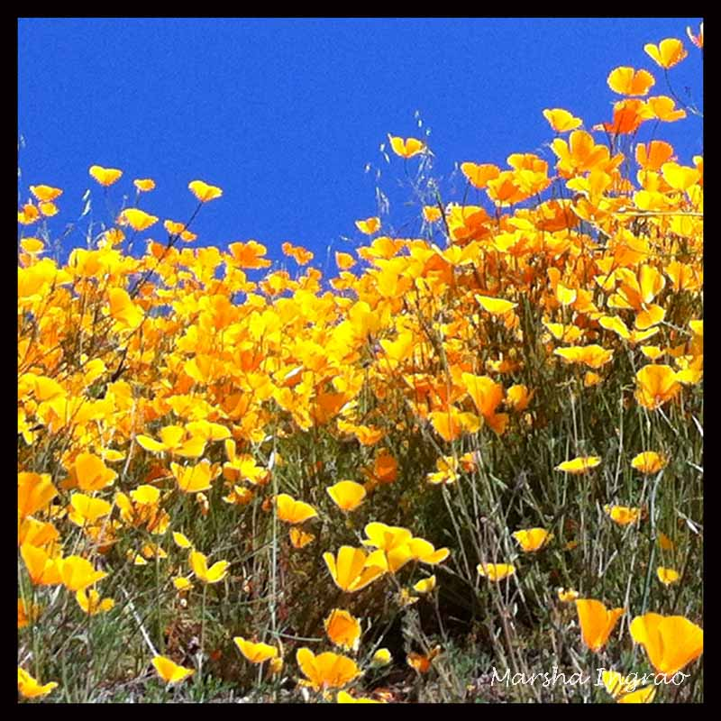 bright golden CA poppies