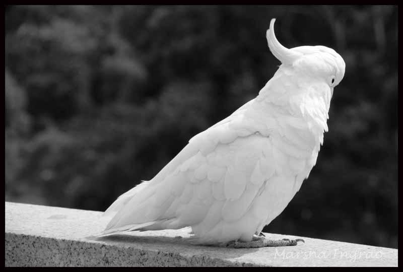 White cockatoo in Melbourne