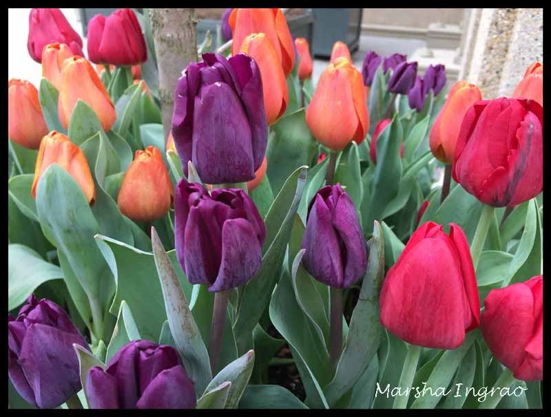 FOTD tulips from Longwood Gardens