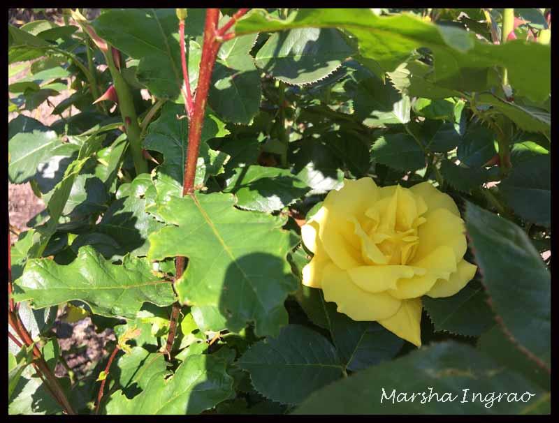 #WQWWC Spring Rose Woodlake Botanical Gardens