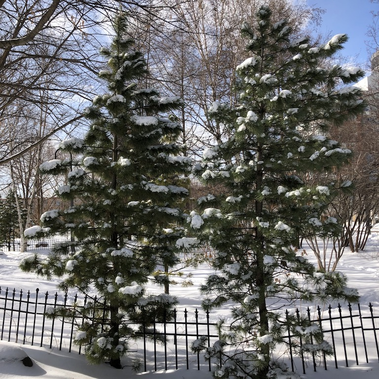 Snow on evergreen trees and the ground in Toronto, Canada Photo by Natalie.
